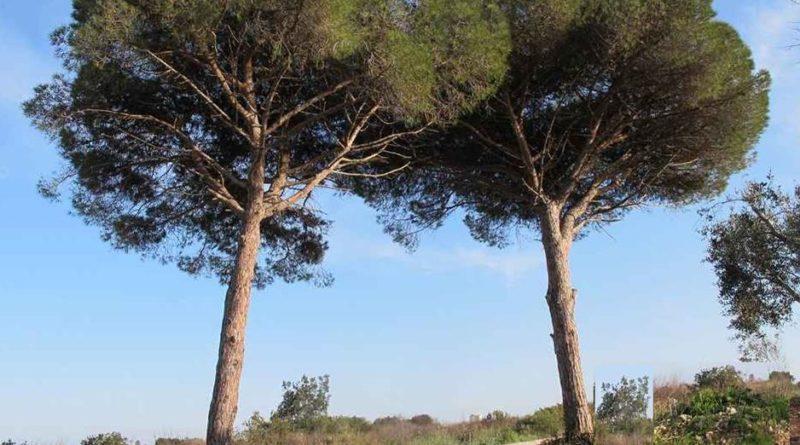 Abbattimento del doppio filare di pini a Stagno